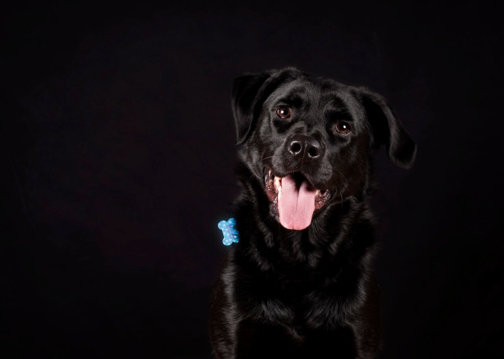 Pet photo, dog photo, dog portraits knoxville tn, black lab halloween pictures knoxville tn