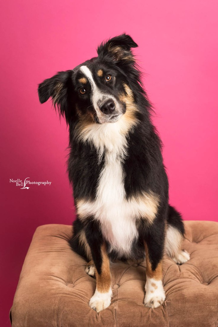Dog Portraits, Australian Shephard, Pet Pictures, Knoxville TN, Paws In Time, Knoxville Photographer, Pets